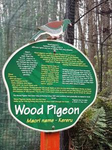 kereru-wood-pidgeon